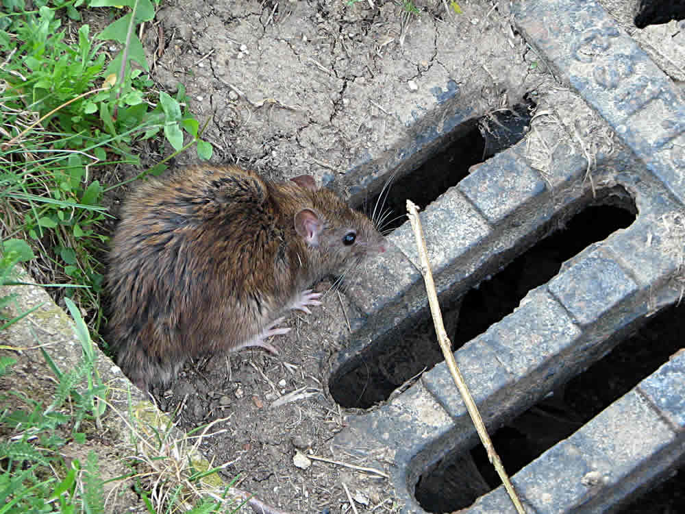 rat control in Maidenhead, Berkshire and surrounding areas cctv drain surveys for rat infestation in your house.