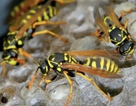 wasp nest removal windsor berkshire